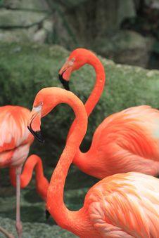 Free Two Flamingos Royalty Free Stock Image - 25785256