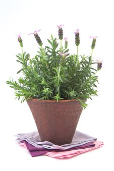 Free Lavender Bush Royalty Free Stock Photos - 25787958