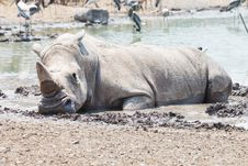 Free White Rhino Stock Photography - 25788672