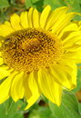 Free Sunflower With Bee Stock Photo - 25790240