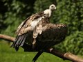 Free Griffon Vulture Stock Images - 25792324