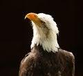 Free Bald Eagle Royalty Free Stock Photography - 25792327