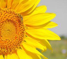 Free Sunflower Stock Photo - 25790090