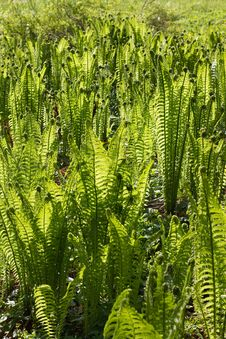 Free Fern Fronds Royalty Free Stock Images - 25791229