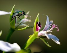 Free House Fly On Flower Macro Stock Photography - 25791302