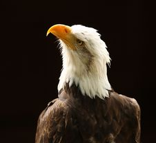 Free Bald Eagle Royalty Free Stock Photography - 25792327