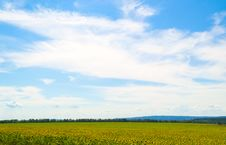Free Sunflower Field Stock Photo - 25794700