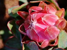 Free Protea Blossom Stock Images - 25798144