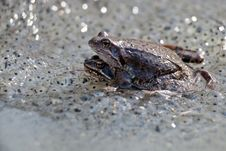 Free Frogs Royalty Free Stock Photo - 25799005