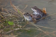 Free Frogs Royalty Free Stock Photography - 25799137