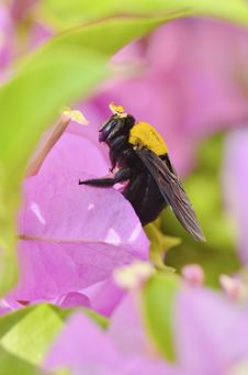 Free Carpenter Bee On Bougainvillea Flower Stock Photos - 25799893