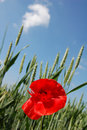 Free Poppy In A Field Stock Photography - 2582802