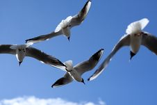 Free Gulls Royalty Free Stock Images - 2580179