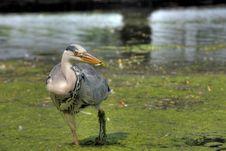 Free Grey Heron Stock Photography - 2580642