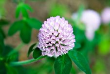Free Clover In Bloom Stock Images - 2580684