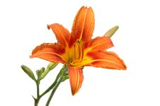 Free Lily In Orange Tones Royalty Free Stock Photo - 2581275