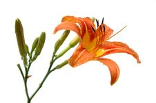 Free Lily In Orange Tones Stock Image - 2581291