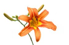 Free Lily In Orange Tones Stock Photography - 2581292