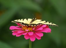 Free Swallowtail Butterfly Royalty Free Stock Photography - 2581317
