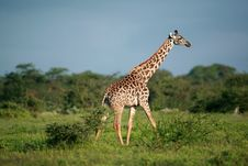 Free Masai Giraffe Royalty Free Stock Photos - 2584868