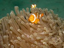 Free Clown Fish And Glass Shrimp Royalty Free Stock Images - 2584959