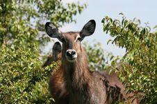 Free Waterbuck Tsavo Kenya Royalty Free Stock Images - 2585389
