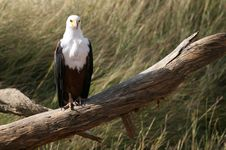 Free African Fish Eagle Royalty Free Stock Photos - 2585448