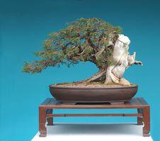 Free Rocky Mountain Juniper Bonsai Stock Photo - 2585800
