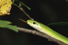 Free Rough Green Snake Stock Photo - 2585850