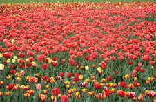 Free Tulips. Royalty Free Stock Photo - 2586845