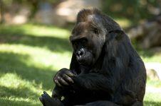 Free Gorilla Sitting Stock Photography - 2587872