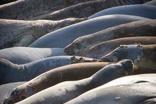 Free Elephant Seals Stock Image - 2588091