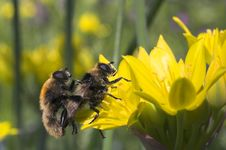 Free Bees On Flower Royalty Free Stock Photo - 2588305