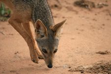 Free Black Backed Jackal Stock Photo - 2588370