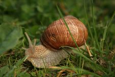 Free Roman Snail Royalty Free Stock Photo - 2588635