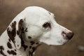 Free Dalmatian Stock Images - 25801984