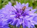 Free Hover Fly On A Blue Flower Stock Images - 25806564