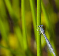 Free Damsel Fly Royalty Free Stock Images - 25808149