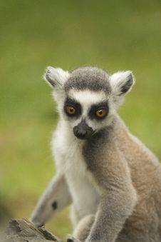 Free Close-up Portrait Of Lemur Catta. Stock Image - 25801981
