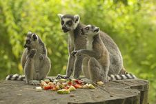 Free Group Tailed Lemur With Food Royalty Free Stock Photography - 25802007