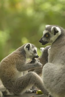Free Couple Of Lemur With Food. Royalty Free Stock Images - 25802029