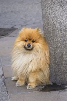 Free Portrait Of Sadly Spitz Puppy Royalty Free Stock Image - 25802096