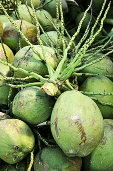Free Coconut S Stalk Above Cluster Of Coconuts Stock Photography - 25808022