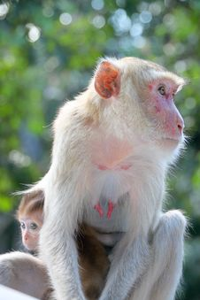 Crab-eating Macaque Or Long-tailed Macaque Stock Photography