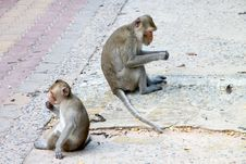 Crab-eating Macaque Or Long-tailed Macaque Stock Images