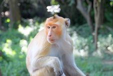 Crab-eating Macaque Or Long-tailed Macaque Stock Photo