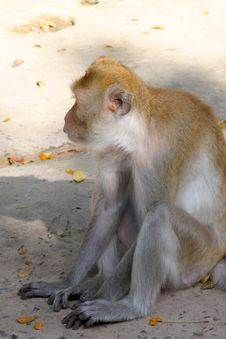 Crab-eating Macaque Or Long-tailed Macaque Royalty Free Stock Photo