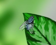 Free Blue Fly On A Leaf - Hand Drawn Stock Photography - 25808972