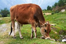 Free Brown Cow On Pasture Royalty Free Stock Photo - 25809905