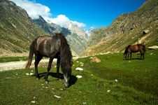 Free Tibetan Horses Graze In Green Pastures Stock Image - 25809941